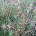 Triglochin concinna concinna - Photo (c) bschaefer,  זכויות יוצרים חלקיות (CC BY-NC)