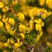 Aspalathus capensis - Photo (c) Phil Massie, algunos derechos reservados (CC BY-NC)