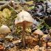 Psilocybe zapotecorum - Photo (c) Alan Rockefeller, algunos derechos reservados (CC BY)