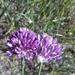 Allium erubescens - Photo (c) mallaliev, algunos derechos reservados (CC BY-NC)