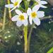 Hottonia palustris - Photo (c) Tatyana Zarubo, osa oikeuksista pidätetään (CC BY-NC)