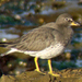 Surfbird - Photo (c) Maggie.Smith, some rights reserved (CC BY-NC)