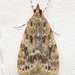 Many-spotted Scoparia Moth - Photo (c) Stott Noble, some rights reserved (CC BY-NC)