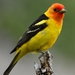 Piranga Tanagers - Photo (c) pnwgardner, some rights reserved (CC BY-NC)