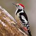 Dendrocoptes medius - Photo (c) Joan Roca,  זכויות יוצרים חלקיות (CC BY-NC-ND)