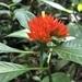 Palicourea aurantiibractea - Photo (c) aribasto, algunos derechos reservados (CC BY-NC)