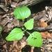 Viola tripartita glaberrima - Photo no hay derechos reservados
