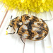 Escarabajo Común de Las Alfombras - Photo (c) Judy Gallagher, algunos derechos reservados (CC BY-NC)