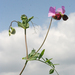 Wild Pea - Photo (c) Oleg Kosterin, some rights reserved (CC BY)