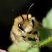 Plasterer Bees - Photo (c) Nadja Baumgartner, some rights reserved (CC BY-NC)