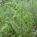 Horsetails - Photo (c) Kira Marchenkova, some rights reserved (CC BY-NC)