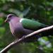 Smaragdikyyhkyt - Photo (c) David Cook, osa oikeuksista pidätetään (CC BY-NC)