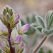 Lupinus concinnus - Photo (c) Christian Schwarz, algunos derechos reservados (CC BY-NC)