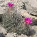Coryphantha ramillosa - Photo (c) Ad Konings, algunos derechos reservados (CC BY-NC)