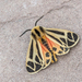 Harnessed Tiger Moth - Photo (c) timthorington, some rights reserved (CC BY-NC)