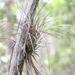 Tillandsia bartramii - Photo (c) Joshua Doby, algunos derechos reservados (CC BY-NC)