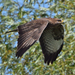 Common Buzzard - Photo (c) Ina Siebert, some rights reserved (CC BY-NC)