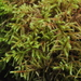 Rhytidiadelphus loreus - Photo (c) Andrew Simon, algunos derechos reservados (CC BY-NC)