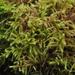Rhytidiadelphus loreus - Photo (c) Andrew Simon, alguns direitos reservados (CC BY-NC)