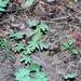Lygodium palmatum - Photo (c) james5, algunos derechos reservados (CC BY-NC-SA), uploaded by James Shelton