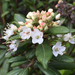Western Labrador Tea - Photo (c) Jennifer Chandler, some rights reserved (CC BY-NC)