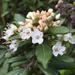 Rhododendron columbianum - Photo (c) Jennifer Chandler, algunos derechos reservados (CC BY-NC)