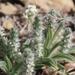 Plantago helleri - Photo (c) Carlos Velazco,  זכויות יוצרים חלקיות (CC BY-NC), uploaded by Carlos G Velazco-Macias
