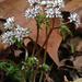 Erigenia bulbosa - Photo (c) Fritz Flohr Reynolds, algunos derechos reservados (CC BY-SA)