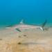 Tiburón Gambuso - Photo (c) bwynand, algunos derechos reservados (CC BY-NC)