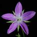 Triodanis biflora - Photo (c) Doug Goldman, algunos derechos reservados (CC BY)