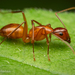 Chestnut Carpenter Ant - Photo (c) Thomas Shahan, some rights reserved (CC BY-NC)
