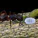 Camponotus rufipes - Photo (c) Luísa L. Mota, algunos derechos reservados (CC BY-NC)