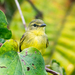 Yellow Tyrannulet - Photo (c) Anderson Sandro, some rights reserved (CC BY-NC)