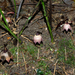 Aspidistra nankunshanensis - Photo (c) 曾云保, algunos derechos reservados (CC BY-NC)