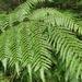 Gymnosphaera podophylla - Photo (c) EnKn,  זכויות יוצרים חלקיות (CC BY-NC-ND)