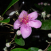 Rose Myrtle - Photo (c) 曾云保, some rights reserved (CC BY-NC)