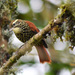 Pearled Treerunner - Photo (c) fincasuasie, some rights reserved (CC BY-NC)