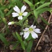Common Chickweed - Photo (c) Nick Furlan, some rights reserved (CC BY-NC)