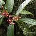 Frangula crenata - Photo (c) Lijin Huang (紫楝), algunos derechos reservados (CC BY-NC)