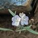 Phacelia leonis - Photo no hay derechos reservados