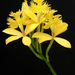 Epidendrum - Photo (c) Emilio, some rights reserved (CC BY-NC-ND)