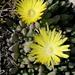 Cheiridopsis - Photo (c) Pete Woodall, algunos derechos reservados (CC BY-NC)