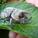 Escarabajos Hércules - Photo (c) Jason Meredith, algunos derechos reservados (CC BY-NC-ND)