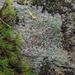 Trapelia coarctata - Photo (c) Rob Curtis, some rights reserved (CC BY-NC-SA)