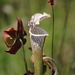 White Pitcher Plant - Photo (c) jeremy_hardin, some rights reserved (CC BY-NC)