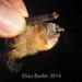 Thyroptera discifera - Photo (c) canopalma,  זכויות יוצרים חלקיות (CC BY-NC)