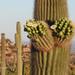 Saguaro - Photo (c) Marianne Skov Jensen, algunos derechos reservados (CC BY-NC)