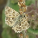 Southern Marbled Skipper - Photo (c) Simon Oliver, some rights reserved (CC BY-NC)