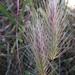 Hordeum geniculatum - Photo (c) אריאל שמיר, algunos derechos reservados (CC BY-NC)