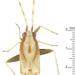 Pseudoloxops - Photo (c) Claas Damken, algunos derechos reservados (CC BY-SA)